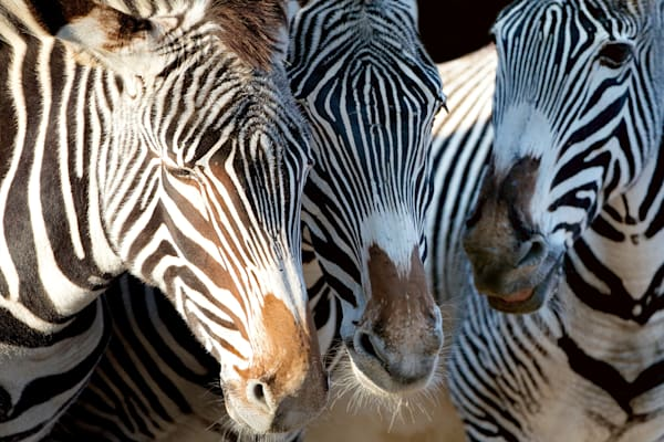 Zebras 007 Photography Art | Cheng Yan Studio