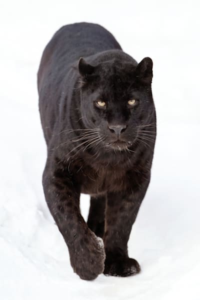black-panthers-005