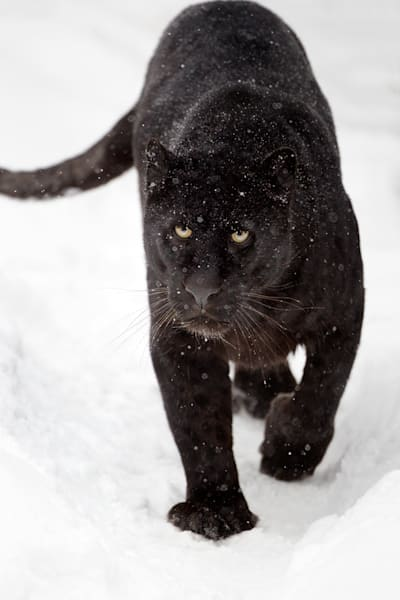black-panthers-006