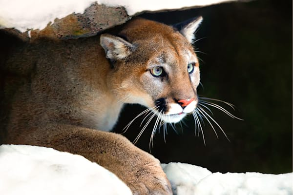 cougars-008