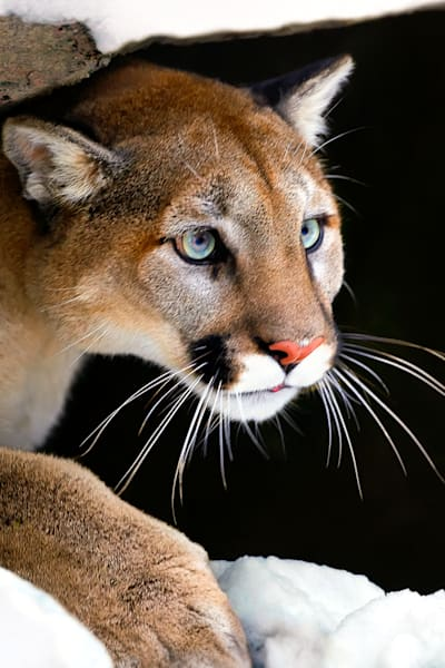 cougars-011