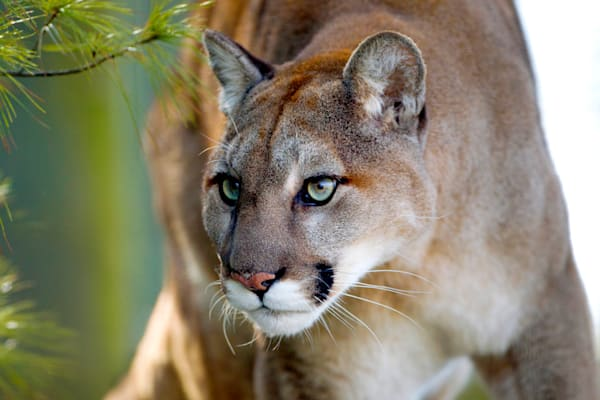 cougars-012