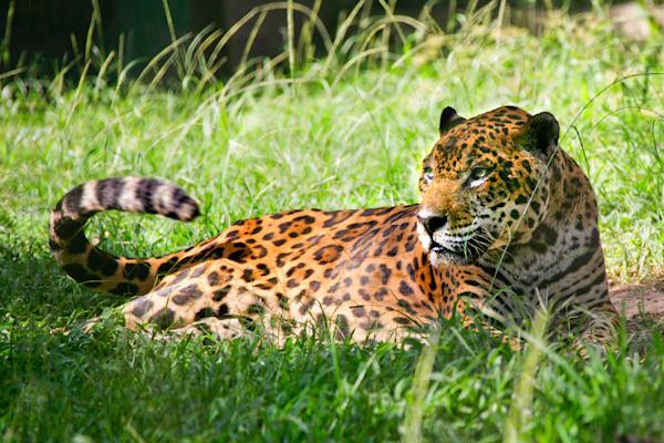 jaguars-001