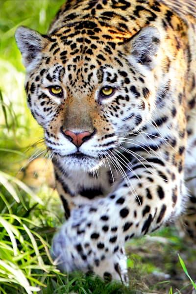 jaguars-003