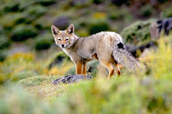 patagonian-foxes-002