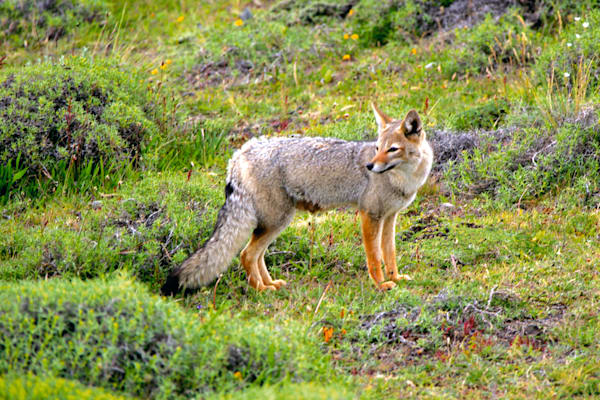 patagonian-foxes-001
