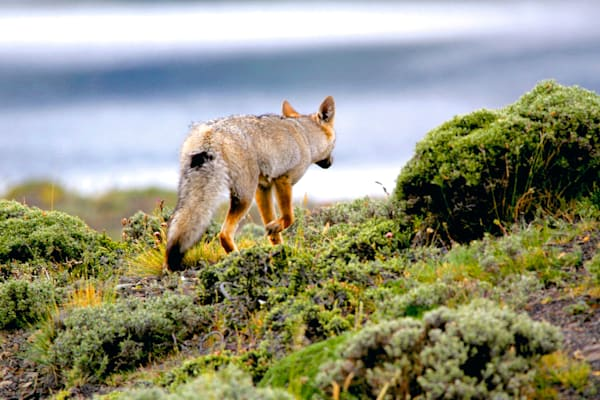 Patagonian Foxes 004 Photography Art | Cheng Yan Studio