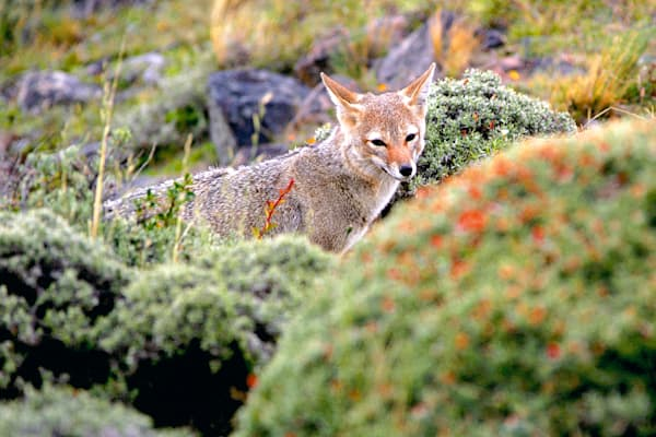 Patagonian Foxes 003 Photography Art | Cheng Yan Studio