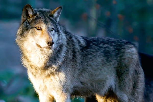 Wolves 005 Photography Art | Cheng Yan Studio