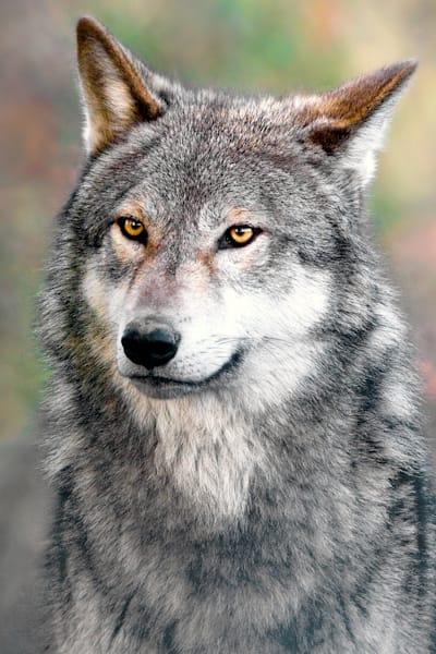 Wolves 004 Photography Art | Cheng Yan Studio