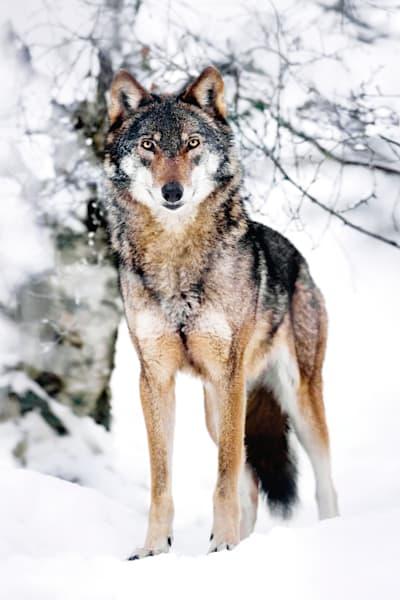 Wolves 008 Photography Art | Cheng Yan Studio