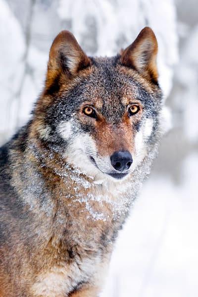 Wolves 013 Photography Art | Cheng Yan Studio