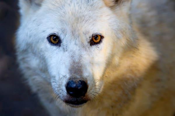 Wolves 015 Photography Art | Cheng Yan Studio