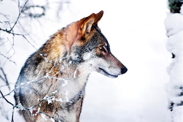 Wolves 019 Photography Art | Cheng Yan Studio