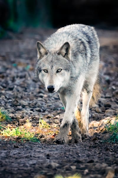 Wolves 018 Photography Art | Cheng Yan Studio