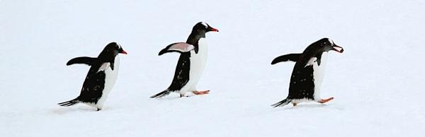 Penguins 025 Photography Art | Cheng Yan Studio