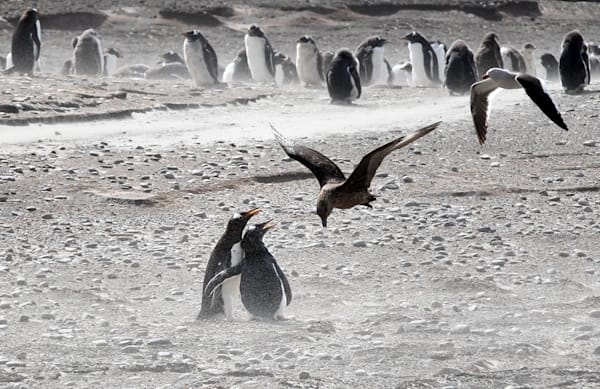 Penguins 037 Photography Art | Cheng Yan Studio
