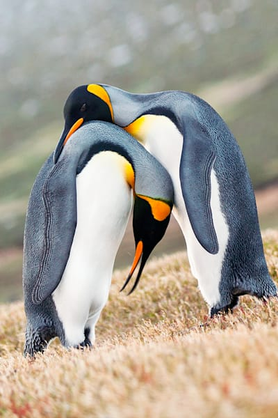 Penguins 035 Photography Art | Cheng Yan Studio