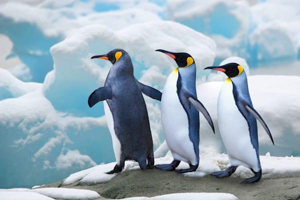 Penguins 047 Photography Art | Cheng Yan Studio