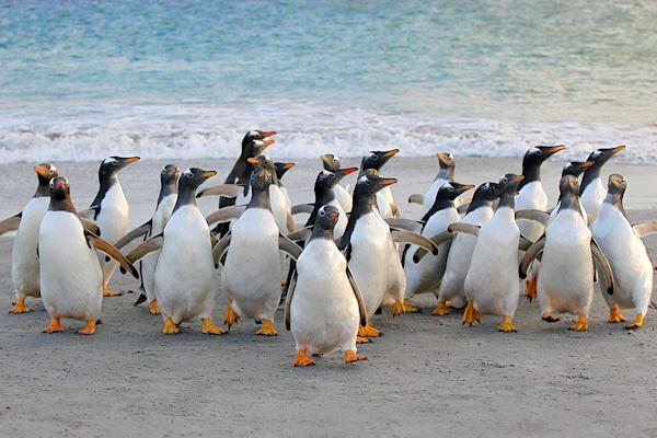 Penguins 078 Photography Art | Cheng Yan Studio