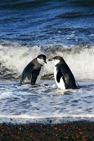 Penguins 105 Photography Art | Cheng Yan Studio