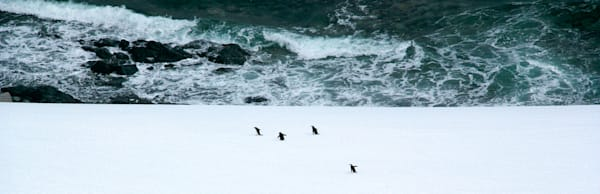 Penguins 110 Photography Art | Cheng Yan Studio