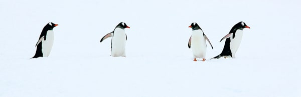 Penguins 119 Photography Art | Cheng Yan Studio