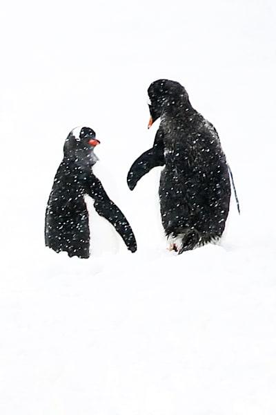 Penguins 121 Photography Art | Cheng Yan Studio