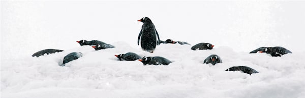 Penguins 136 Photography Art   Cheng Yan Studio