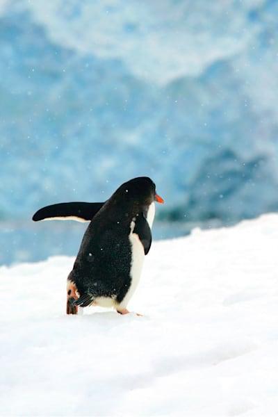 Penguins 145 Photography Art | Cheng Yan Studio
