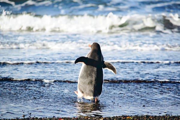 Penguins 150 Photography Art | Cheng Yan Studio