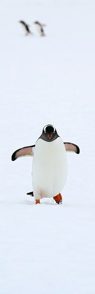 Penguins 158 Photography Art | Cheng Yan Studio