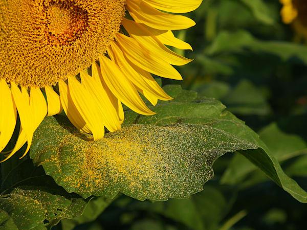 Sunflower and Pollen