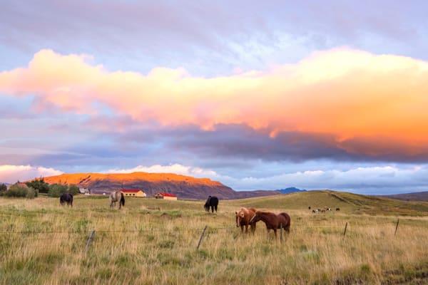 Icelandic Horses Print