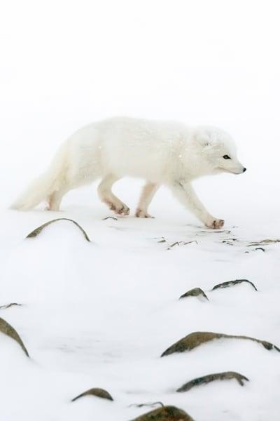 Arctic Foxes 005 Photography Art | Cheng Yan Studio