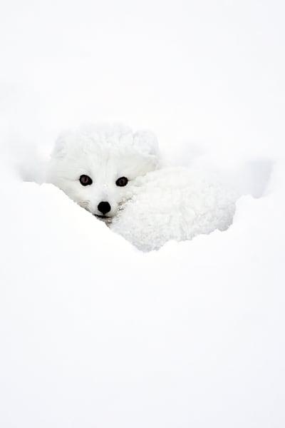 Arctic Foxes 001 Photography Art | Cheng Yan Studio
