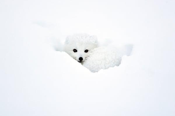 Arctic Foxes 002 Photography Art | Cheng Yan Studio