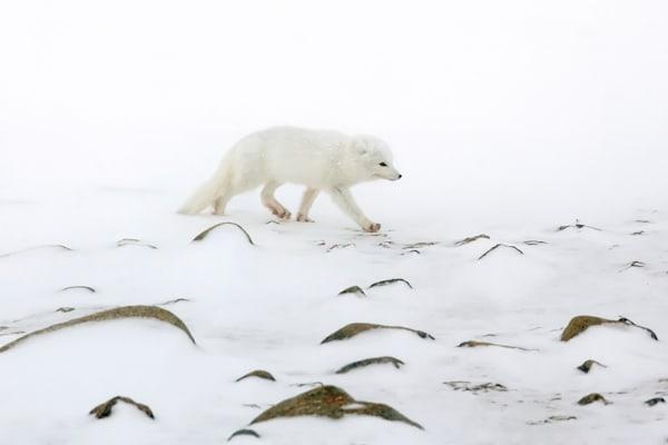 Arctic Foxes 006 Photography Art | Cheng Yan Studio