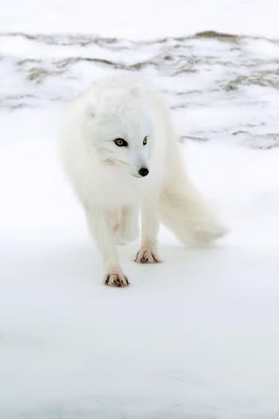 arctic-foxes-008