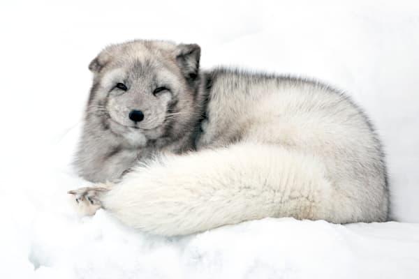 arctic-foxes-009