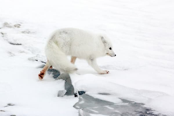 Arctic Foxes 007 Photography Art | Cheng Yan Studio