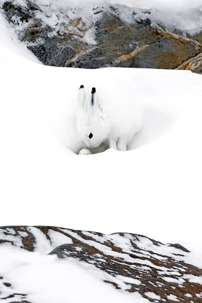 Other Arctic Animals 002 Photography Art | Cheng Yan Studio
