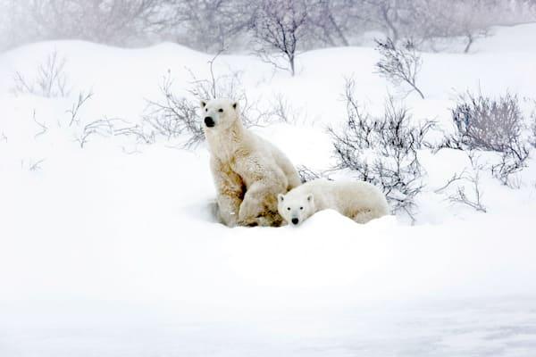 polar-bears-004