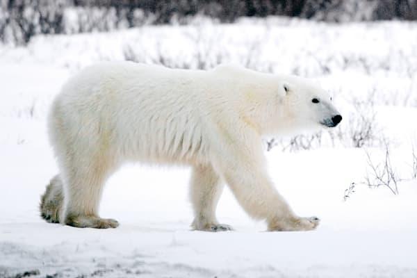 polar-bears-005