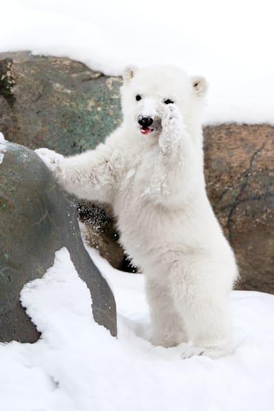 polar-bears-001