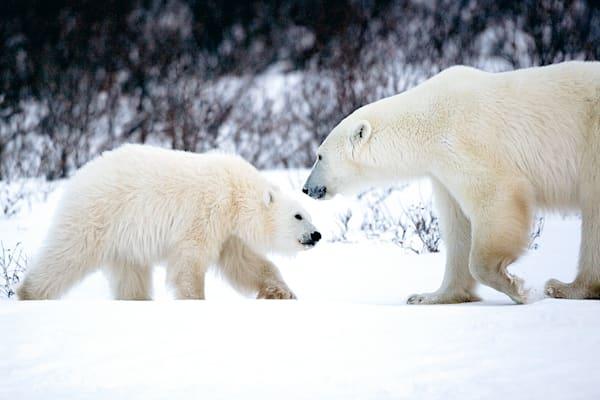 polar-bears-003