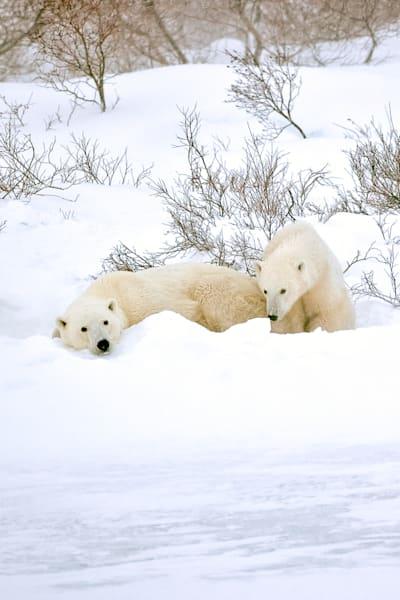 polar-bears-002