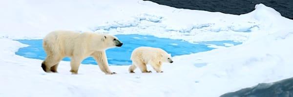 Polar Bears 011 Photography Art | Cheng Yan Studio