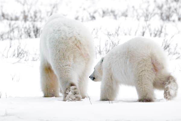 polar-bears-008