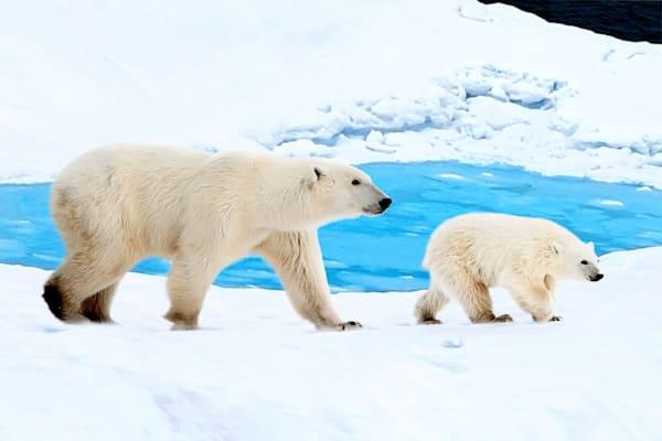 polar-bears-009
